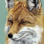 Art Drawing - Fox Portrait 01 - Animal