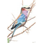 Art Drawing - Lilac Breasted Roller - Bird