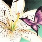 Art Drawing - White Lily - Flower - Butterfly