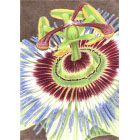 Art Drawing - Passion Flower