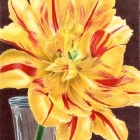 Art Drawing - Tinge of Red - Flower - Tulip